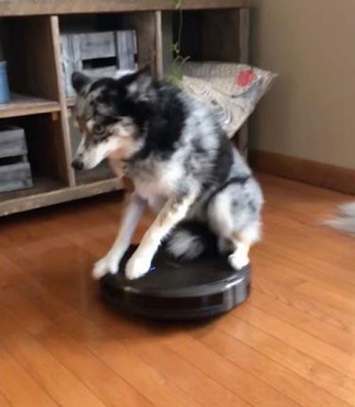 собака катается на пылесосе