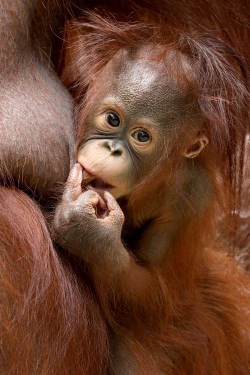 обезьяна показала средний палец