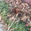такса зарылась в листья