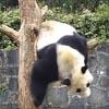 упитанная проворная панда