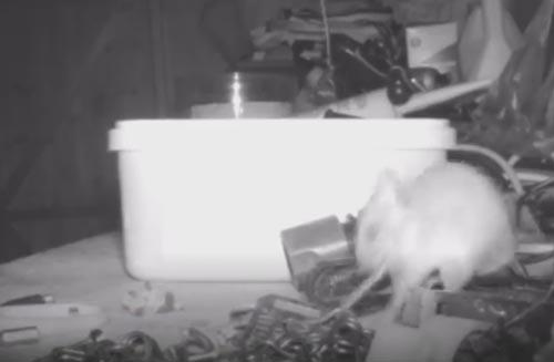 мышь делает уборку каждый вечер