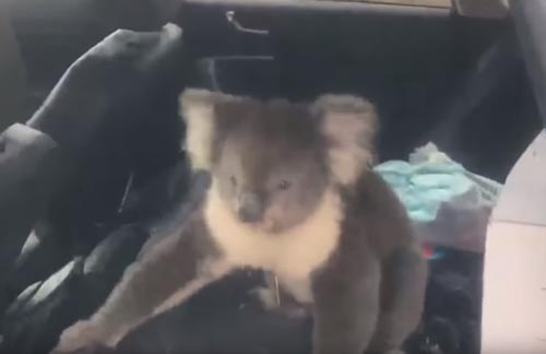 коала в машине с кондиционером