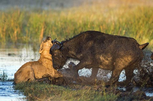 львица получила отпор от буйволов