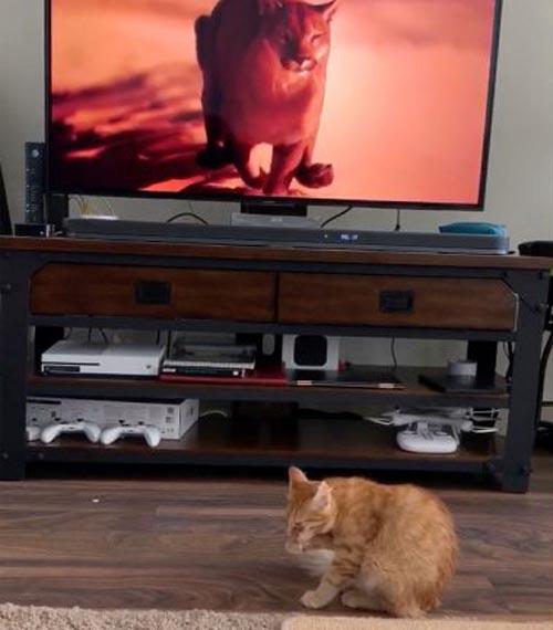 кот увидел пуму по телевизору