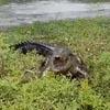 проворный крокодил украл рыбу
