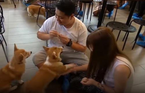 кафе с корги для любителей собак