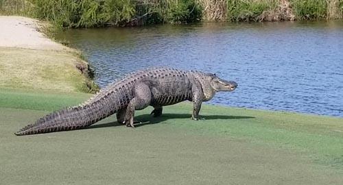 аллигатор ошеломил гольфистов