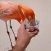 турист напоил фламинго