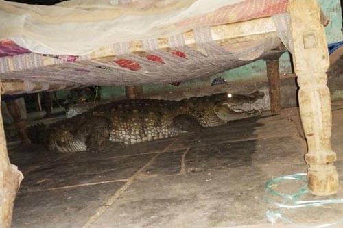 самка крокодила под кроватью