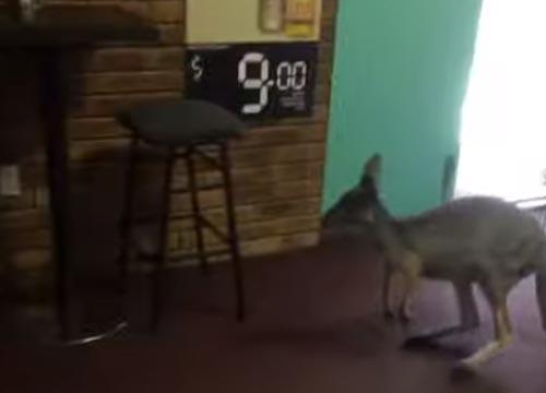 кенгуру пришёл в паб
