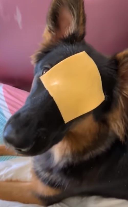 собака и шутка с куском сыра