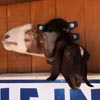 необычная стена коз на ранчо