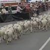 сотни овец пробежались по улицам