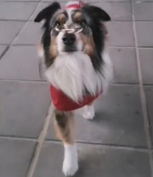 собака со спиннером на носу