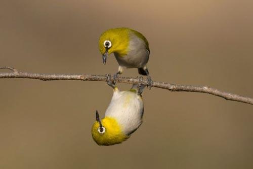 оптическая иллюзия с птицами