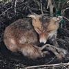 умирающая лиса оказалась чучелом