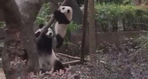 панда снимает детёныша с дерева