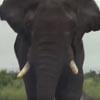 туристы подъехали близко к слону
