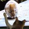 кошка увидела грызунов на экране