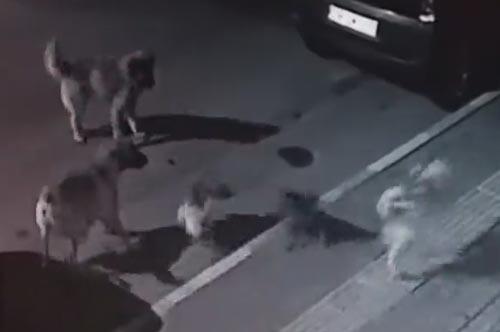 кошка повергла в бегство собак