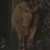 коровы подозрительно шумели в саду