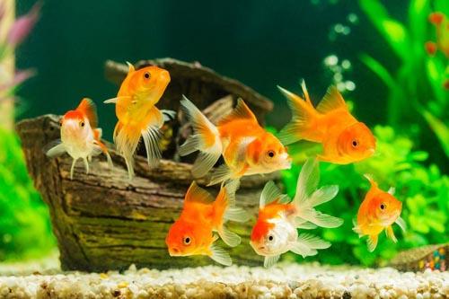 умирающие рыбки на свадьбе