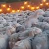 море овец на заднем дворе