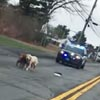 собаки с полицейским эскортом
