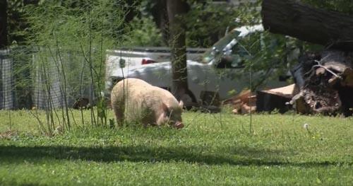 свинья живёт на воле