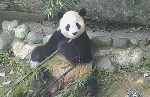 панда оказалась разборчивой