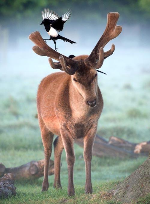 сорока прилетела к оленю