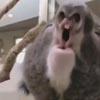 коала издаёт неприятные звуки