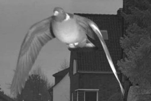 голубь превысил скорость