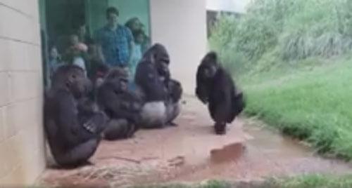 гориллы попали под дождь
