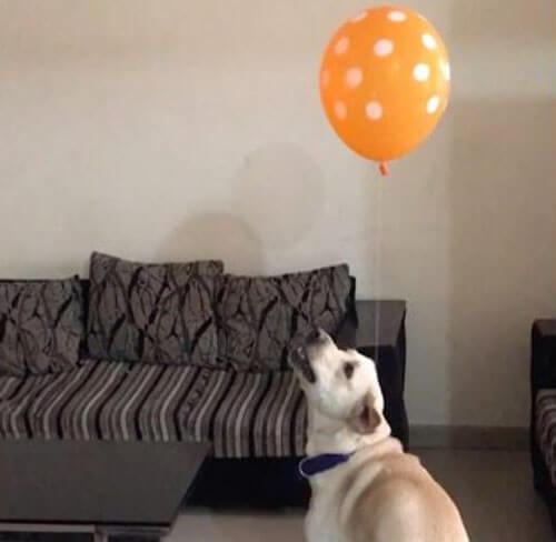 воздушный шар привязали к ошейнику