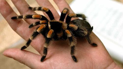 зять завёл домашнего тарантула