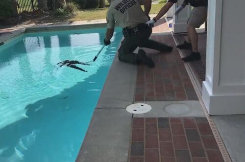 аллигатор купался в бассейне