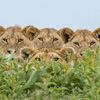 случайное фото с львами