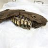 челюсть доисторического животного