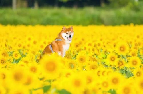сиба-ину позирует среди цветов