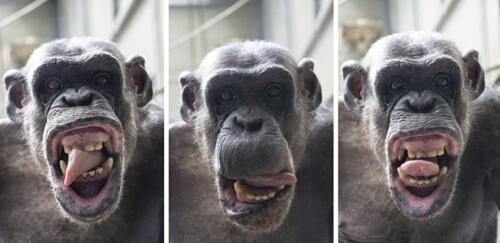 шимпанзе корчит рожи