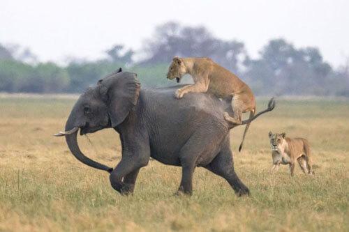 львица хотела пообедать слонёнком
