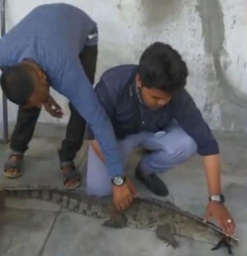 крокодил в жилом доме