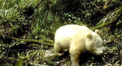 редкая панда-альбинос