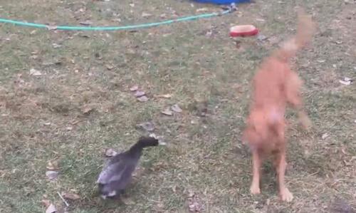 шутливая война пса и утки