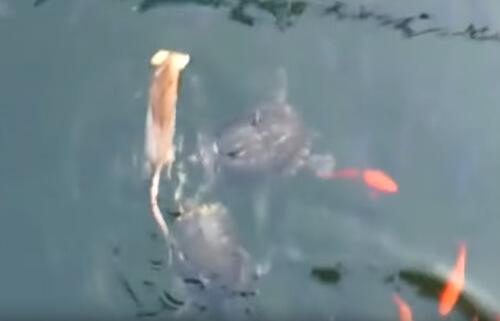 крысы воруют корм у рыб
