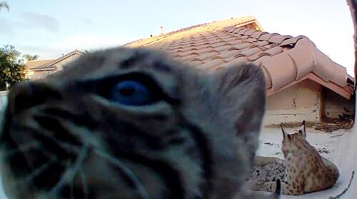 домовладелец наблюдает за рысями