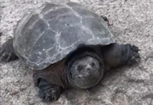 черепаха оказалась чудовищем