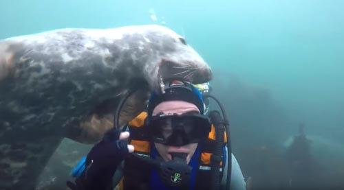 тюлень играет с дайвером