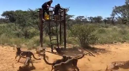 волонтёры кормят гепардов